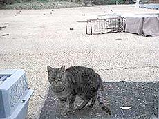 ▲不妊手術が終わった猫は目印に、耳の先を数ミリ カットした後に元の場所に戻される